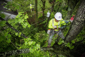 Utility vegetation management services being performed by a Lewis Tree Service climber